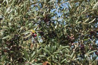 olivtra%cc%88d-1747
