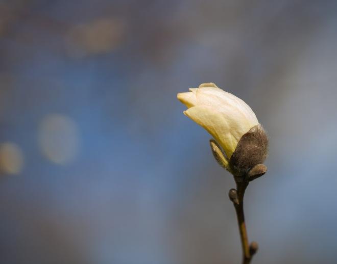 Magnolia-6199