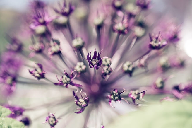 Allium Blue day-1539