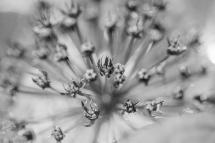 Allium BW-1539