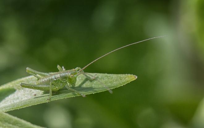 en liten grön gräshoppa-
