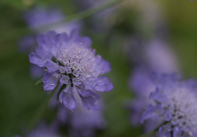 Blå liten blomma-2765