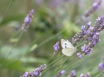 Fjäril-3611