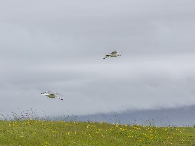 Island Snaefellsnes tretåig mås-9984
