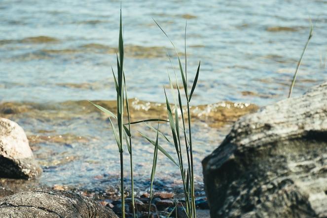 grässtrå-5086