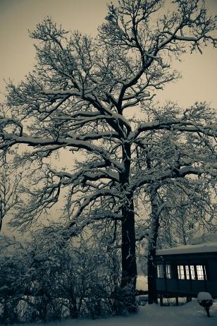 träd-7277
